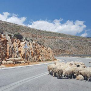 Sheep, Crete