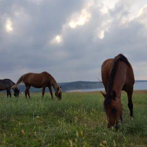 Wild Horses, Black Sea